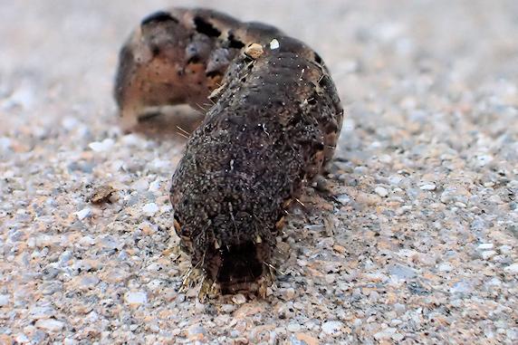 ハスモンヨトウの幼虫
