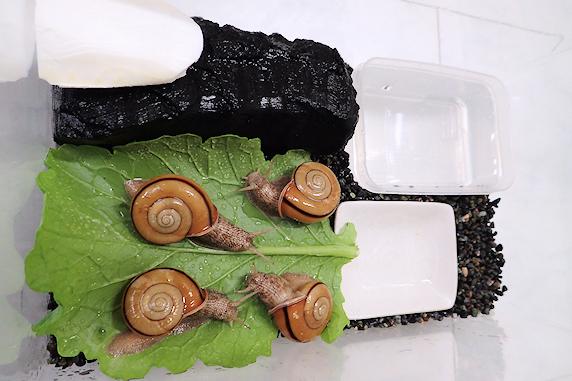 小カブの葉を食べるカタツムリ その1