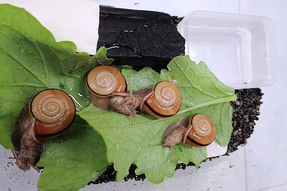 小カブの葉を食べるカタツムリ その2