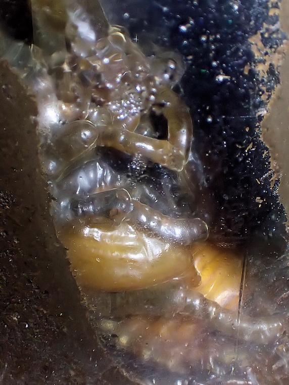 ついに羽化したカブトムシ