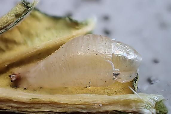 ホソヒラタアブの羽化と寄生を確認