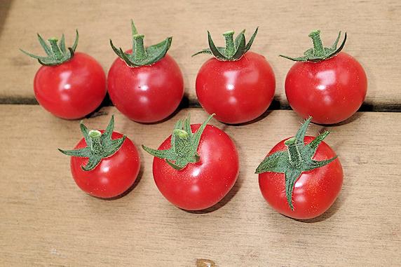 ミニトマトの収穫
