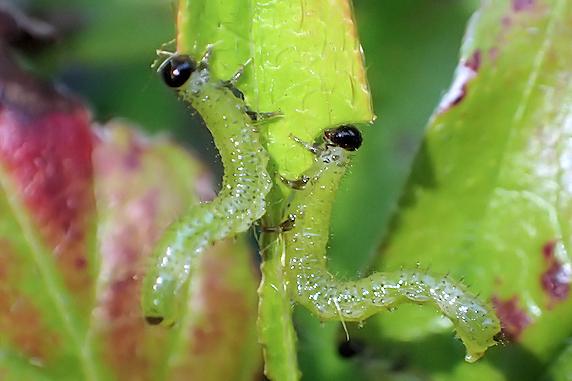 ツツジにいたチュウレンジバチの幼虫