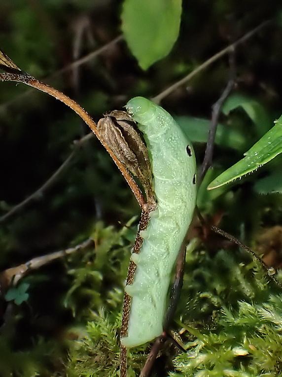 ベニスズメの幼虫