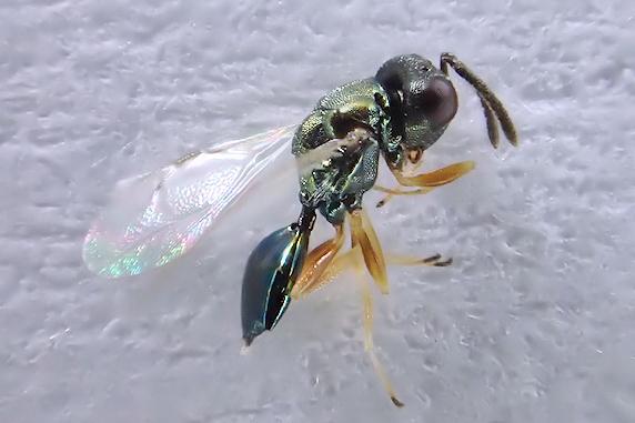 寄生バチが羽化