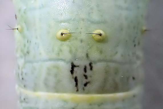 ルピナスにヨモギエダシャクの幼虫発見