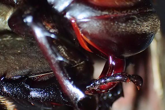 [動画]カブトムシの求愛&交尾