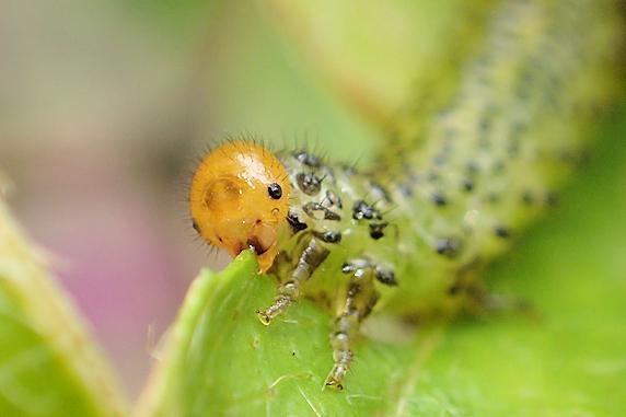 ツツジの住人ルリチュウレンジの幼虫