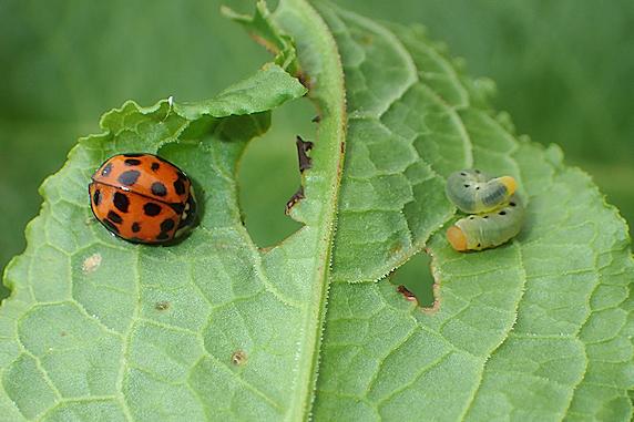 ハグロハバチの幼虫とナミテントウ