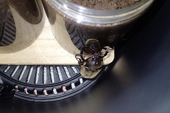 カブ成虫メス1匹羽化