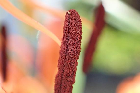 花粉に注意のオニユリ