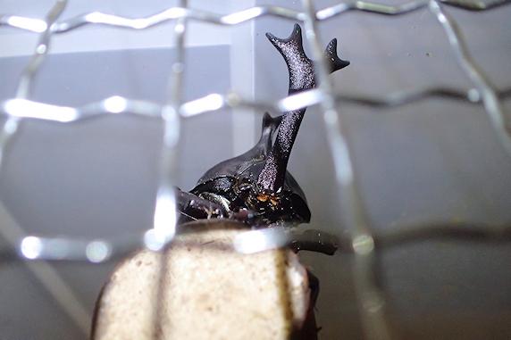 産卵したかもしれないカブトムシ