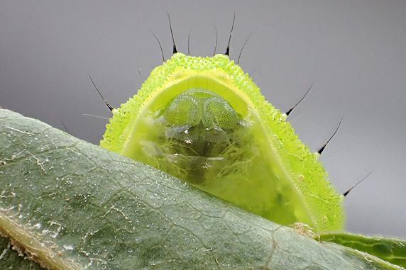 またもやウスムラサキイラガの幼虫来襲