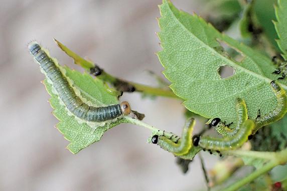 ハバチの幼虫 バラ編