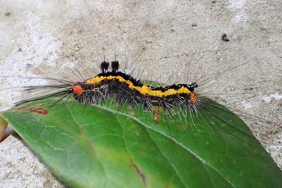 またもやヒメシロモンドクガの幼虫