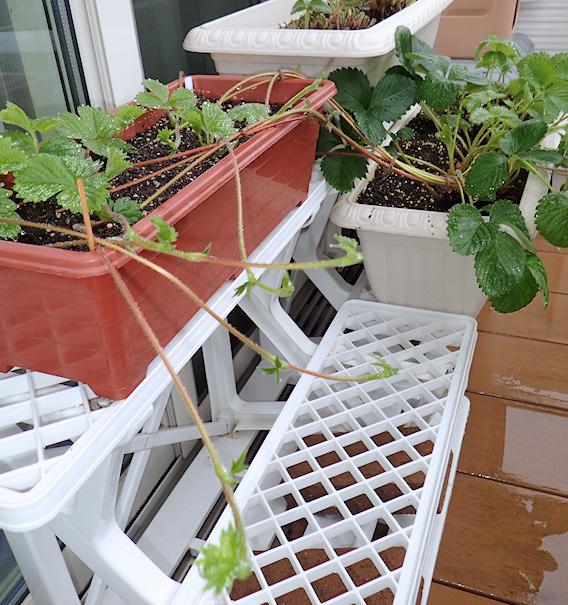 イチゴの子株づくりと実割れミニトマト