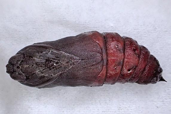 モモスズメの幼虫がサナギになりました