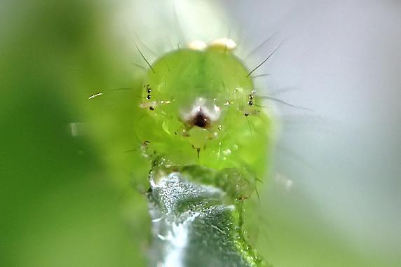 腹脚2対のいつもの幼虫