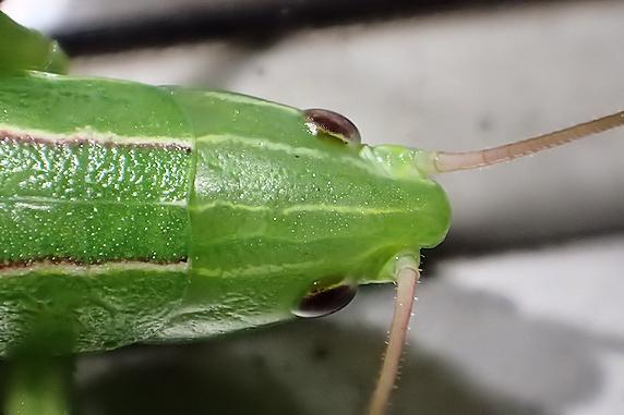 カヤキリの幼虫現る