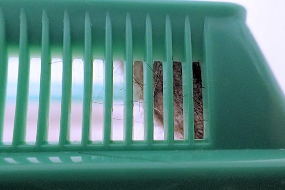 赤紫蘇の毛虫がマユを形成