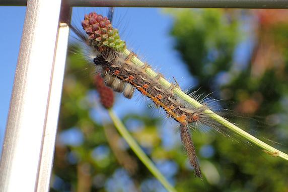 ワレモコウのつぼみを食べるヒメシロモンドクガの幼虫