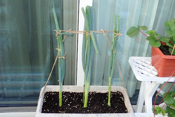 そろそろ定植の四季成りイチゴ
