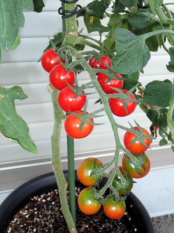 こぼれ種のミニトマトの実を収穫