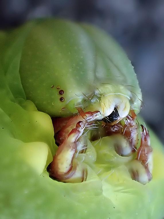 今度はクルマスズメの幼虫か?