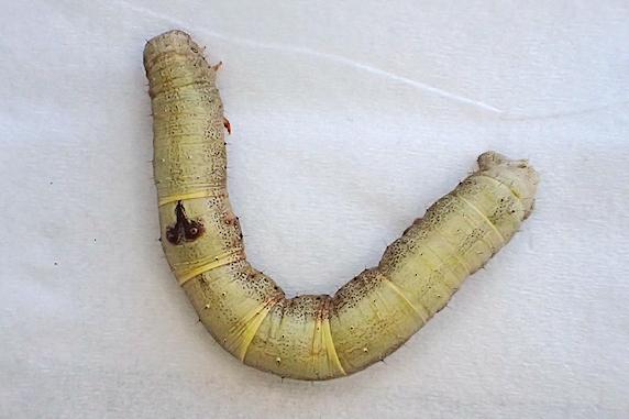 食用菊の葉にヨモギエダシャクの幼虫を発見