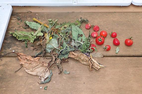 ナスとトマトとミニトマトの収穫