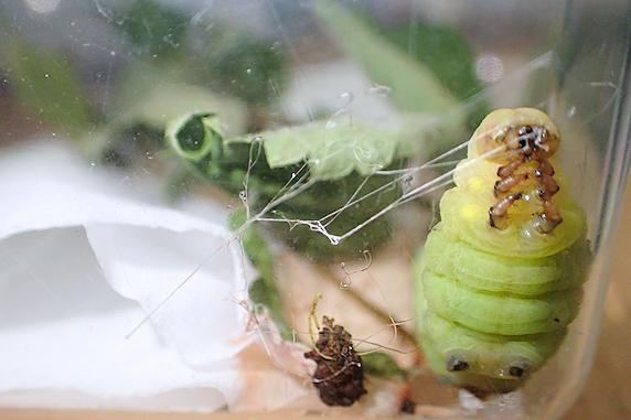 糸吐き開始のクルマスズメの幼虫