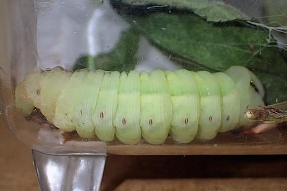 蛹化準備完了のクルマスズメの幼虫