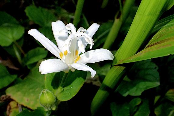 ホトトギス開花