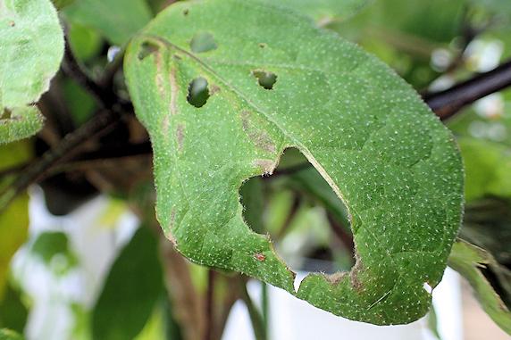 ベランダで3種の幼虫を駆除