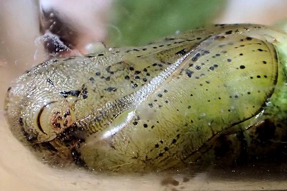 クルマスズメの幼虫がサナギになった