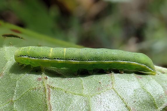 シロシタヨトウの幼虫〜緑色&褐色
