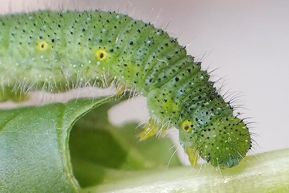 スジグロシロチョウの幼虫