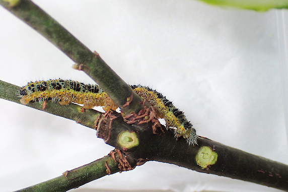 オオモンシロチョウの幼虫を確保