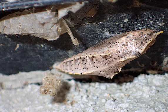 外でオオモンシロチョウのサナギを発見