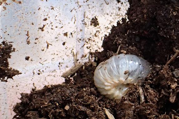 カブトムシの幼虫誕生