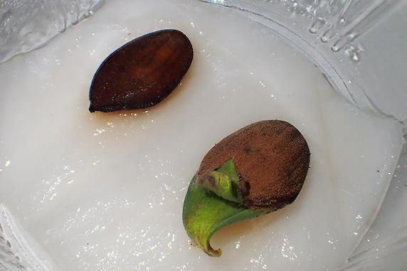 桃の種のその後
