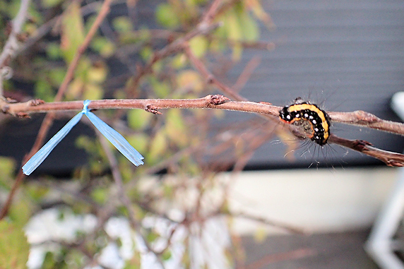 蛹化態勢かもしれないリンゴケンモンの幼虫