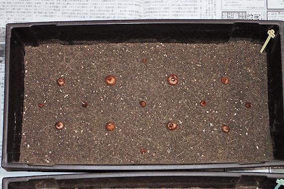 クロッカスの球根定植