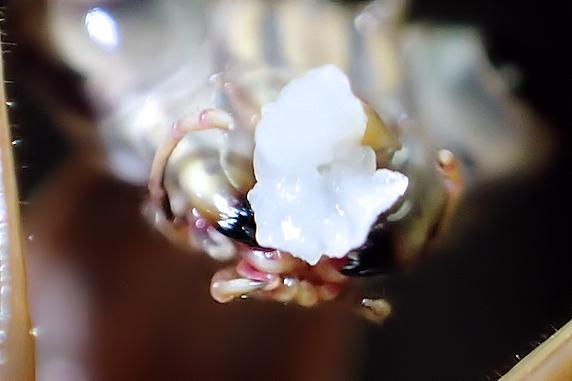 笹かまぼこを食べるオオカマキリ