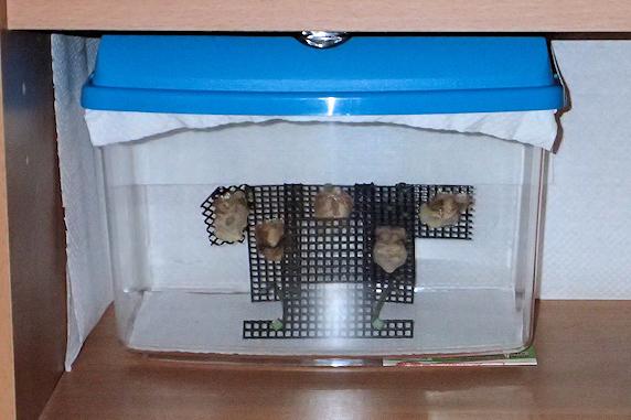 オオカマキリの卵鞘を移動