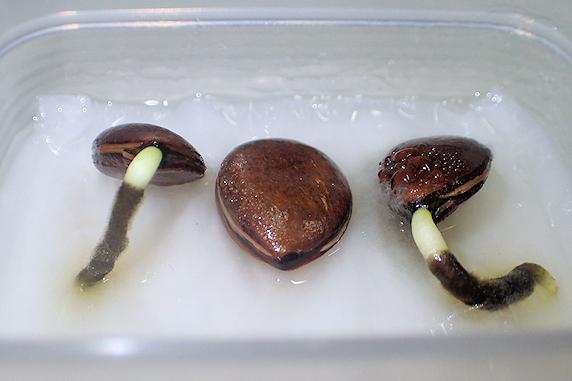 富有柿のジェル栽培の実験