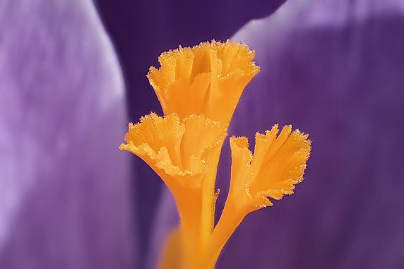 野原風花壇のクロッカスが開花