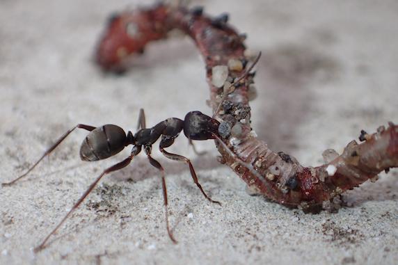 クロヤマアリも巣作り開始