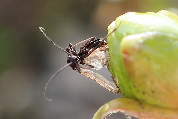今年もツツジの昆虫ホイホイ