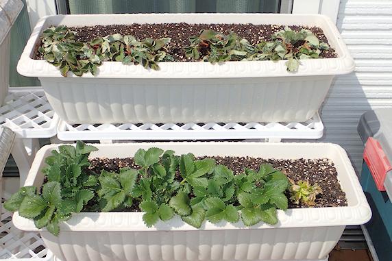 ベランダ菜園越冬組の状況